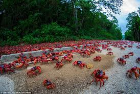millions of crabs emerge from the jungle and head for the indian