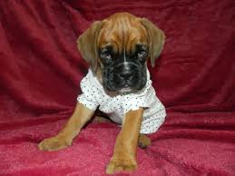 boxer dog yorkshire 16 best cucciolidikaya my boxer and yorkshire terrier puppies