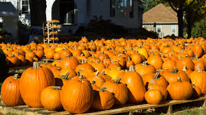 Guse Christmas Trees by Guide To Pumpkin Picking In Indiana I Love Halloween