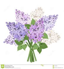 Lilca by Purple Lilac Flowers Isolated On White Royalty Free Stock Images