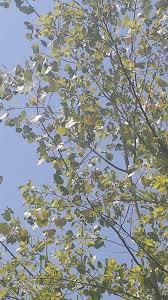 Cottonwood Tree Flowers - eastern cottonwood u2013 vcu field botany official site