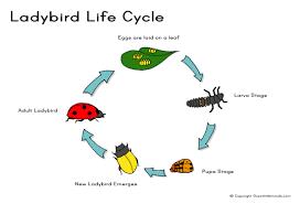 ladybird life cycle a4 jpg