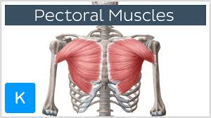 Interactive Muscle Anatomy Pectoral Muscles Area Anatomy U0026 Function Human Anatomy