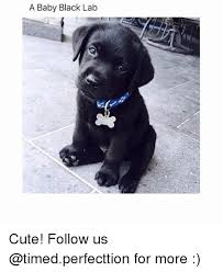 Black Lab Meme - a baby black lab cute follow us for more meme on me me