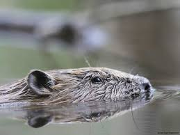 scotland u0027s beavers are here to stay scottish nature notes our