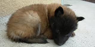 belgian sheepdog guard dog belgian tervuren information characteristics facts names