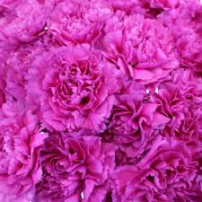 wholesale carnations tiepolo fuschia carnations
