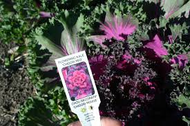 flowering kale and cabbage margarite gardens