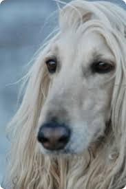 afghan hound 209 best afghan hounds images on pinterest afghans afghan hound