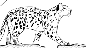 drawn snow leopard simple pencil and in color drawn snow leopard