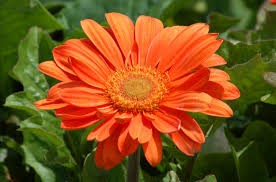 gerbera daisy flowers tender perennial in many colors