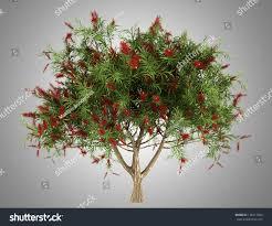 bottlebrush tree isolated on gray background stock illustration