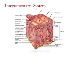 Human Anatomy Integumentary System Chapter 2 The Integumentary System Ppt Video Online Download