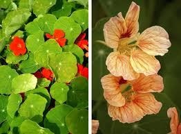 nasturtium flowers on how to grow and care for a nasturtium plant
