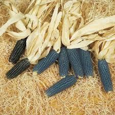 ornamental corn mini blue popcorn harris seeds