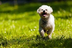 bichon frise names male bichon frise bichon frise pet insurance u0026 dog breed info