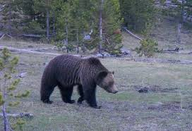 Are Bears Color Blind Bear Series Part Three The Return Of The California Grizzly