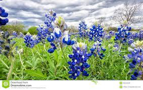 bluebonnet fields in texas stock photo image 48552966