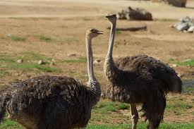 ostrich wallpapers animal hq ostrich pictures 4k wallpapers