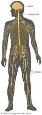 Pictures Of Anatomy Of The Human Body Human Nervous System Anatomy Britannica Com