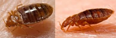 Kill Bed Bugs How To Kill Bed Bugs Yourself