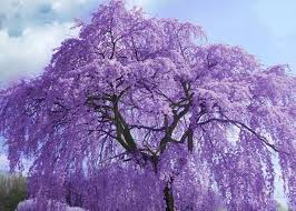 tree with purple flowers jacaranda gorgeous trees you can find all mexico city