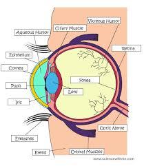 Eye Ducts Anatomy Best 25 Eye Anatomy Ideas On Pinterest Face Anatomy Human Eye