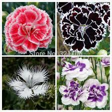 sweet william flowers promotion 200 dianthus seeds 16 kinds mixed packed sweet