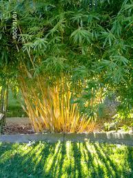 non native plants in california sun filtering through bambusa multiplex u0027alphonse karr u0027 a non