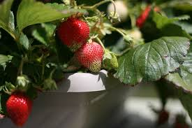 Planting Fruit Trees In Backyard 6 Surprising Fruits You Can Grow Organically Indoors In Containers