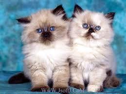 لمحبي القط ولا أروع images?q=tbn:ANd9GcT
