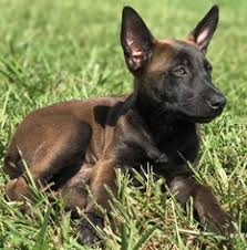 belgian malinois puppies 6 months view ad belgian malinois puppy for sale missouri west plains usa