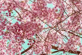 flowering cherry tree stock photo image of ornamental