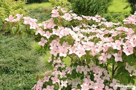 cornus kousa chinensis japanese dogwood tree how to plant and