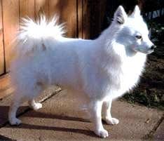 types of american eskimo dogs american eskimo dog gopetsamerica com