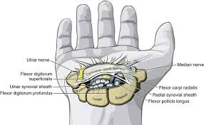 Tendon Synovial Sheath Structure And Function Of The Wrist Musculoskeletal Key
