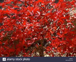 deep red color red leaves shining in sunshine contrast of deep red color and