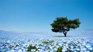 light blue flowers a sea of 4 5 million baby blue eye flowers in japan s hitachi