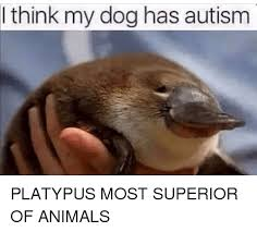 Platypus Meme - think my dog has autism platypus most superior of animals meme