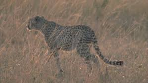 good lighting for video cheetah walking in tall yellow grass good lighting stock footage