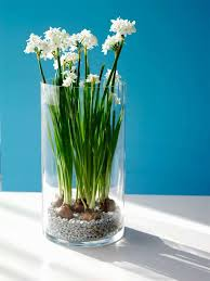 paperwhite flowers enjoy blooms in the winter by forcing amaryllis