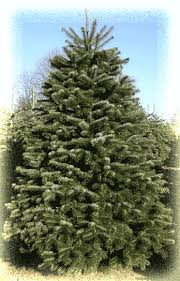 christmas trees lots delivered heinies market in aurora fresh