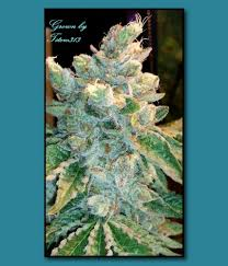 wedding cake genetics triangle mints by seed genetics seedfinder strain info