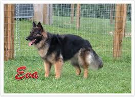 belgian sheepdog german shepherd mix breed love u2013 page 2 u2013 doggerel