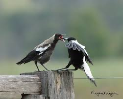 Magpie Birds In Backyards Australian Magpie Cracticus Tibicen Hungry Juvenile Magpie Being