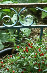 growing chillies in melbourne suburban tomato