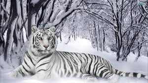 siberian tiger endangered animals class of 2022