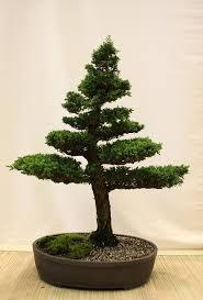 328 best bonsai images on pinterest bonsai trees bonsai plants
