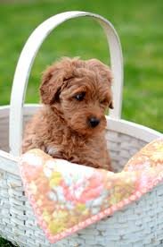 Ginger Doodle 135 Best Labra Goldendoodles Images On Pinterest Doodle Dog