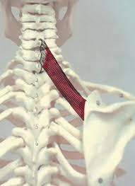 rhomboid minor copyright american academy of manual medicine